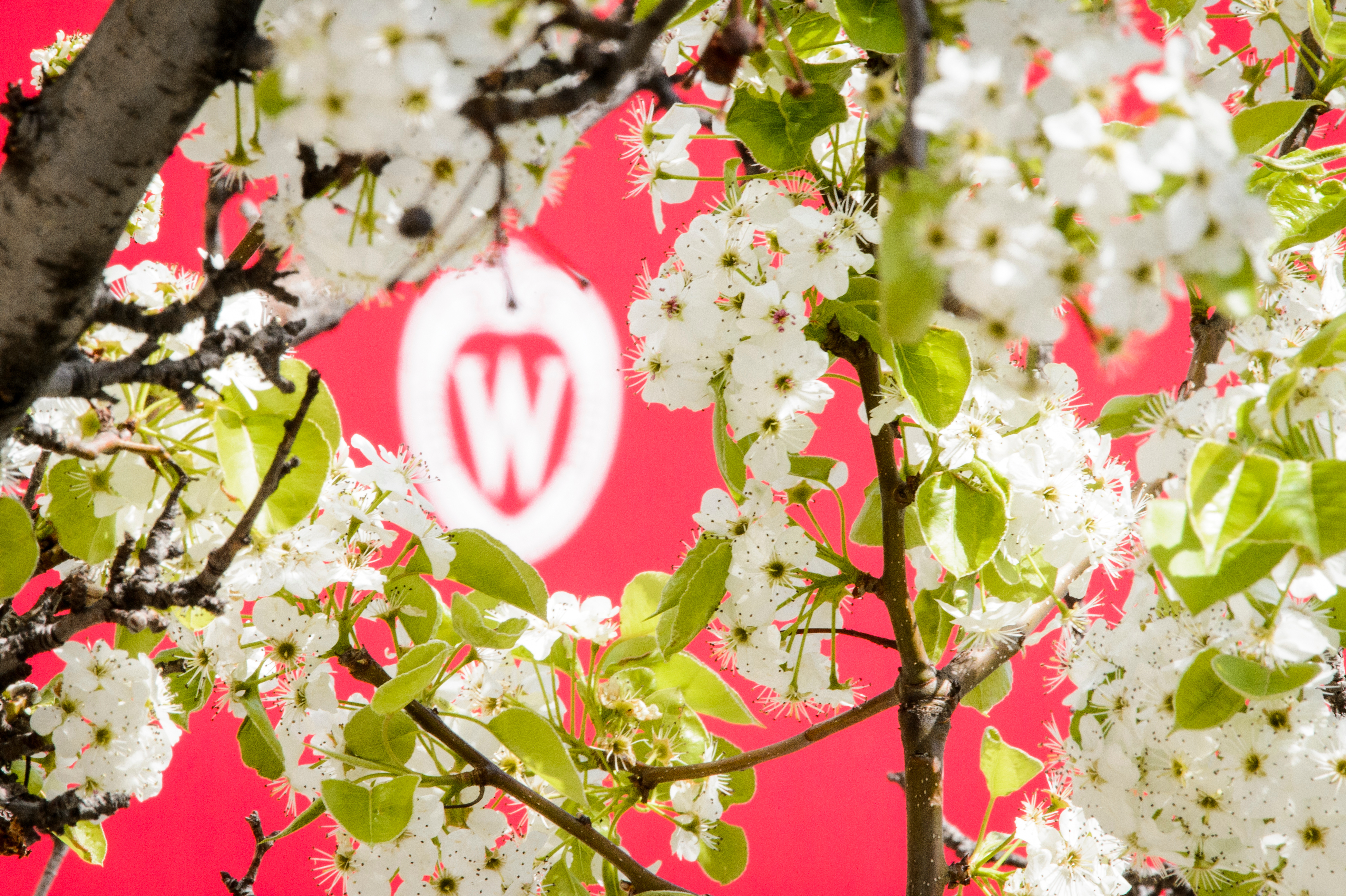 A W crest is pictured surrounded by the spring blooms of a pear tree.