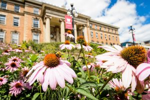 Bumble bees gather pollen on echinacea flowers outside of Agricultural Hall during summer.