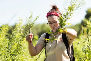 A student hand-prunes overgrown brush as she walks a trail through Curtis Prairie as part of her summer job as an assistant ranger at the UW Arboretum.